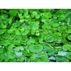 Hydrocotyle Lauceoplala